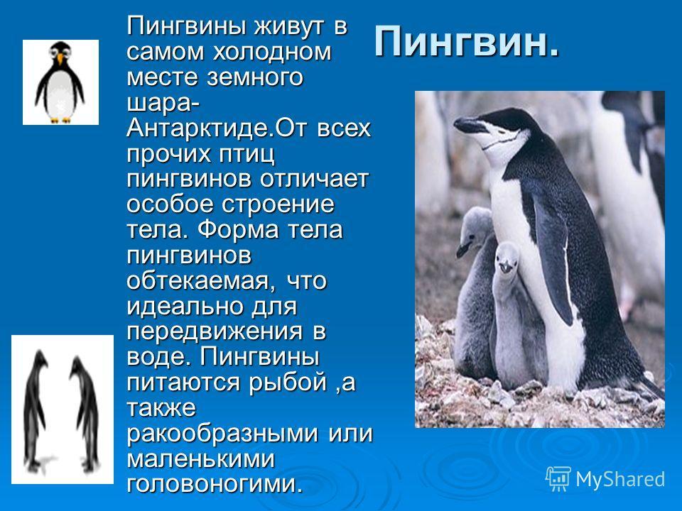 Пингвин. Пингвины живут в самом холодном месте земного шара- Антарктиде.От всех прочих птиц пингвинов отличает особое строение тела. Форма тела пингвинов обтекаемая, что идеально для передвижения в воде. Пингвины питаются рыбой,а также ракообразными