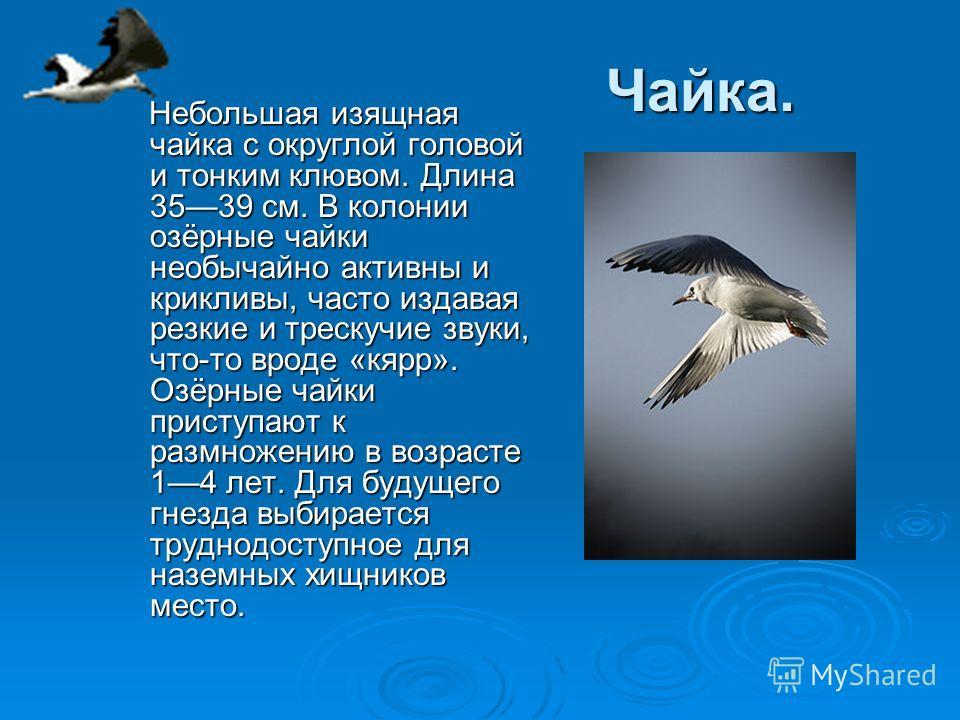 Чайка. Небольшая изящная чайка с округлой головой и тонким клювом. Длина 3539 см. В колонии озёрные чайки необычайно активны и крикливы, часто издавая резкие и трескучие звуки, что-то вроде «кярр». Озёрные чайки приступают к размножению в возрасте 14