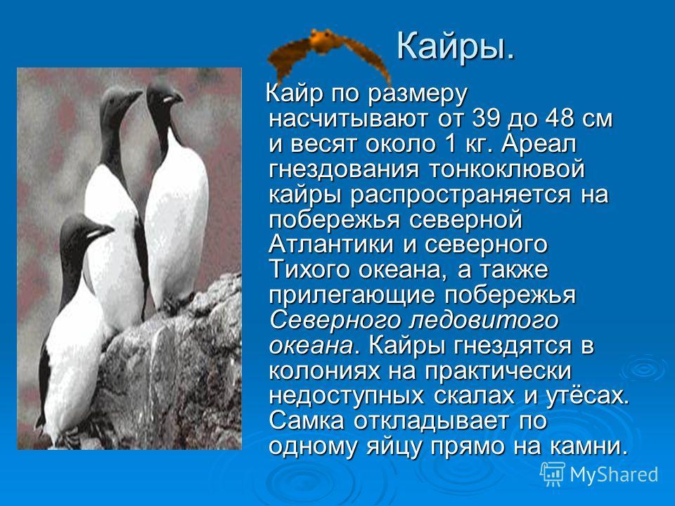 Кайры. Кайр по размеру насчитывают от 39 до 48 см и весят около 1 кг. Ареал гнездования тонкоклювой кайры распространяется на побережья северной Атлантики и северного Тихого океана, а также прилегающие побережья Северного ледовитого океана. Кайры гне