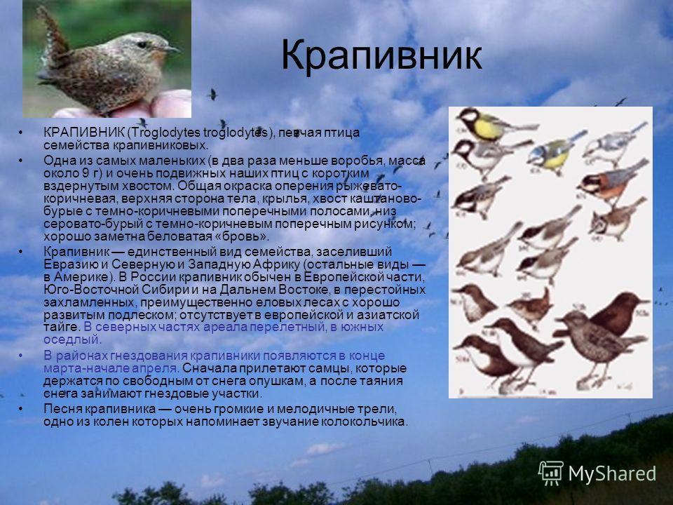 Крапивник КРАПИВНИК (Troglodytes troglodytes), певчая птица семейства крапивниковых. Одна из самых маленьких (в два раза меньше воробья, масса около 9 г) и очень подвижных наших птиц с коротким вздернутым хвостом. Общая окраска оперения рыжевато- кор