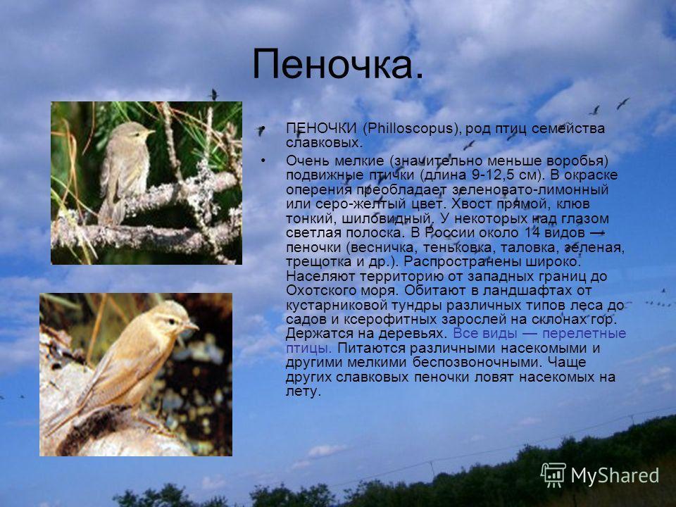 Пеночка. ПЕНОЧКИ (Philloscopus), род птиц семейства славковых. Очень мелкие (значительно меньше воробья) подвижные птички (длина 9-12,5 см). В окраске оперения преобладает зеленовато-лимонный или серо-желтый цвет. Хвост прямой, клюв тонкий, шиловидны