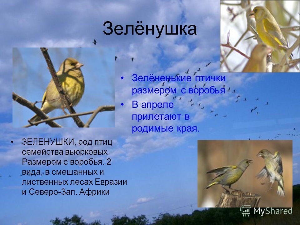 Зелёнушка ЗЕЛЕНУШКИ, род птиц семейства вьюрковых. Размером с воробья. 2 вида, в смешанных и лиственных лесах Евразии и Северо-Зап. Африки Зелёненькие птички размером с воробья В апреле прилетают в родимые края.