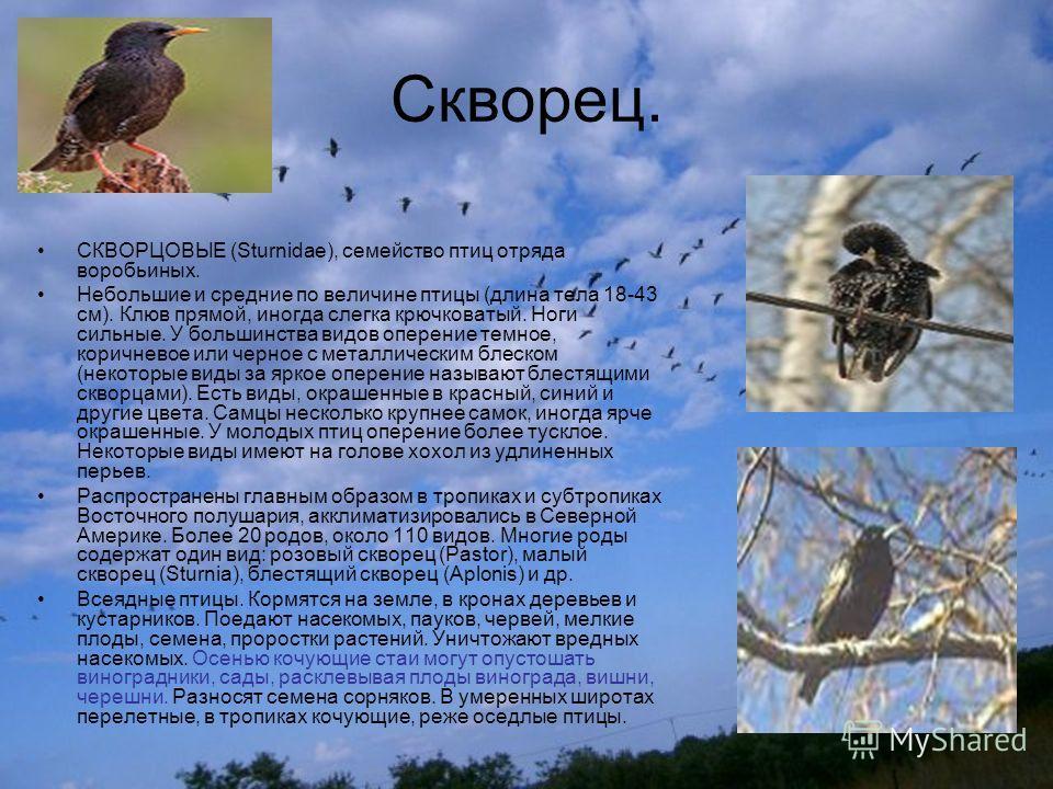 Скворец. СКВОРЦОВЫЕ (Sturnidae), семейство птиц отряда воробьиных. Небольшие и средние по величине птицы (длина тела 18-43 см). Клюв прямой, иногда слегка крючковатый. Ноги сильные. У большинства видов оперение темное, коричневое или черное с металли