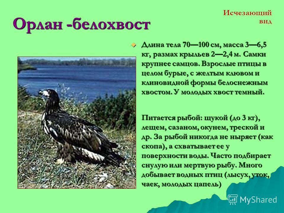 Беркут Длина тела 80-90 и более см, размах крыльев около 2 м, вес 3-4 кг. Окраска тёмно-бурая с небольшими вариациями. Клюв чёрный, лапы жёлтые. Длина тела 80-90 и более см, размах крыльев около 2 м, вес 3-4 кг. Окраска тёмно-бурая с небольшими вариа