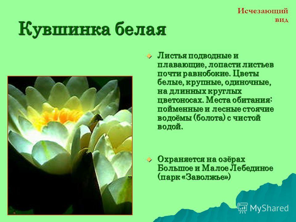 Венерин башмачок Многолетнее растение высотой до 50 см. Стебель волосистый с 3-6 широкими эллиптическими листьями. Цветок одиночный, крупный лиловыйи фиолетовый. Растёт на полянах, лесных опушках лесов, среди кустарников, берегах водоёмов. Многолетне