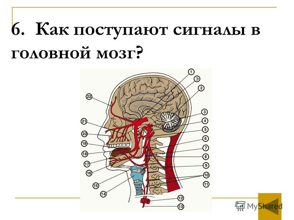6. Как поступают сигналы в головной мозг?