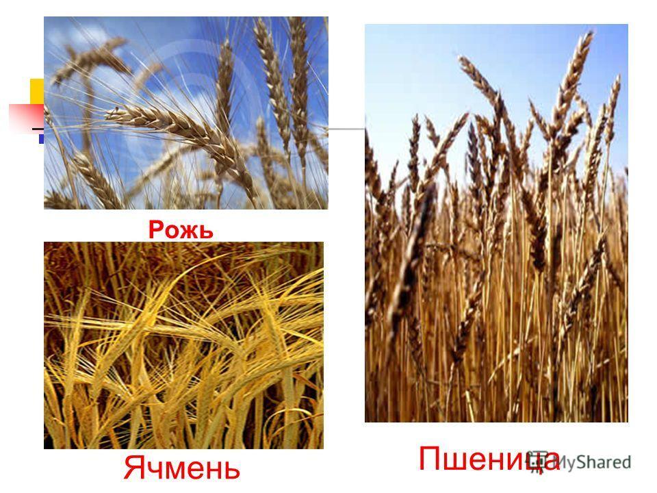 Рожь Пшеница Ячмень