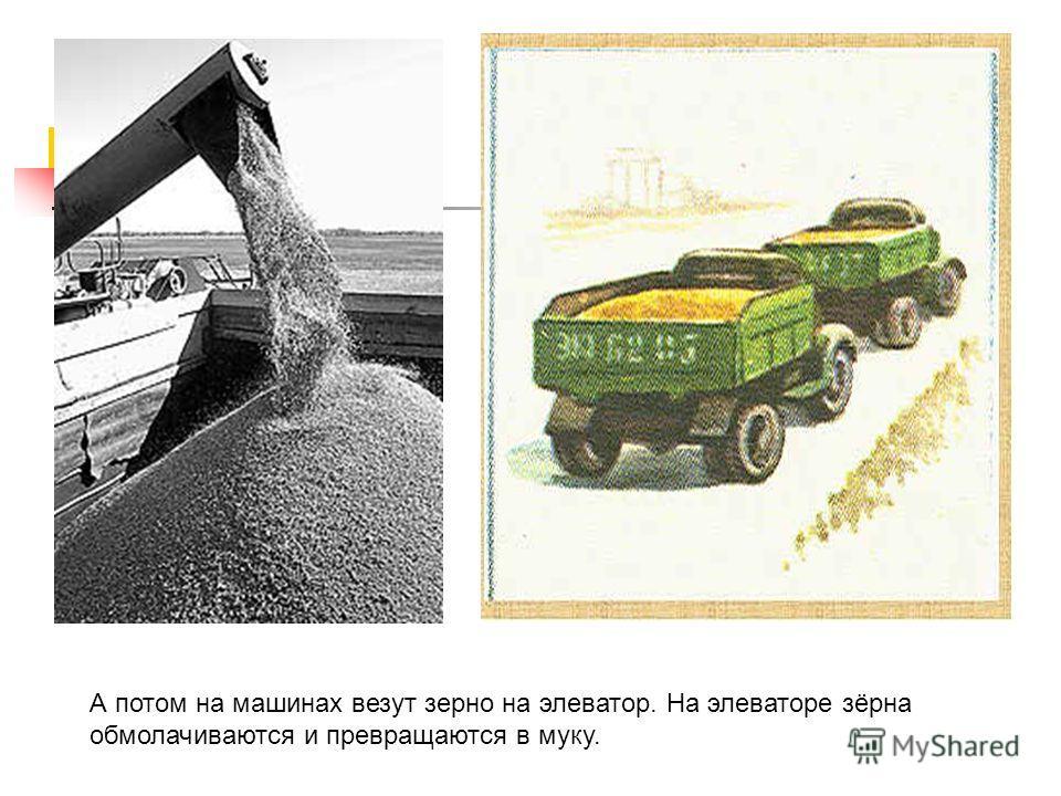 А потом на машинах везут зерно на элеватор. На элеваторе зёрна обмолачиваются и превращаются в муку.