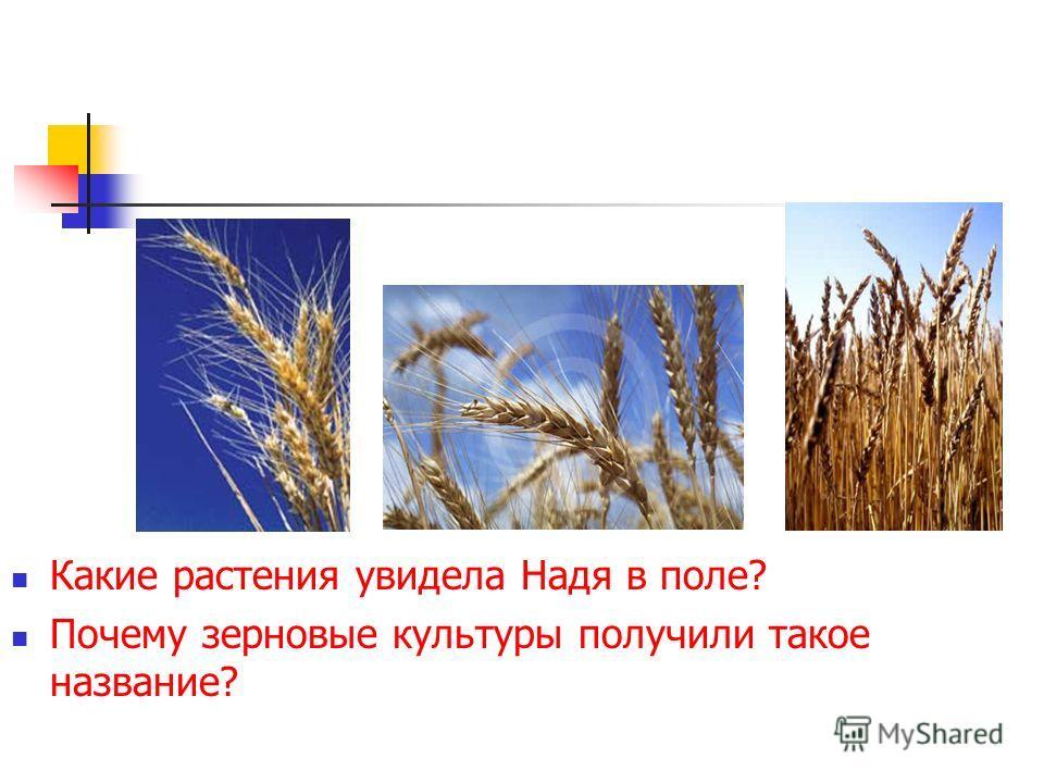 Какие растения увидела Надя в поле? Почему зерновые культуры получили такое название?