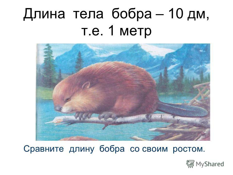 Длина тела бобра – 10 дм, т.е. 1 метр Сравните длину бобра со своим ростом.
