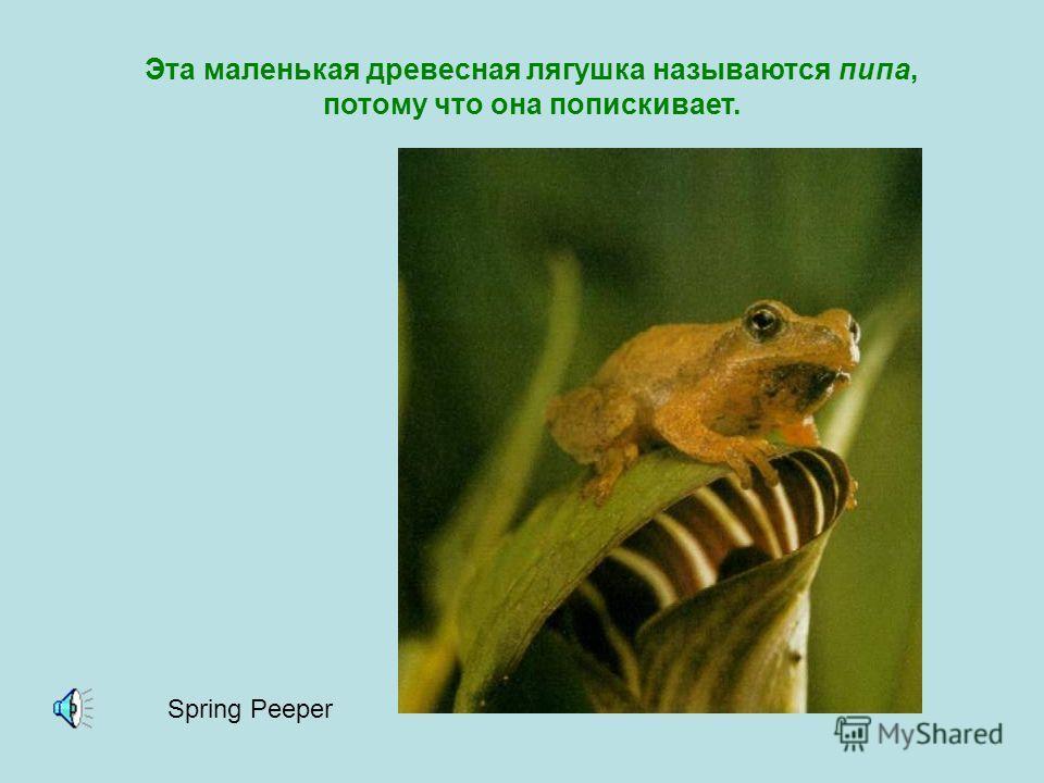 Квакая, самцы большинства видов лягушек и жаб раздувают горловой мешок. Все жабы и лягушки квакают по-разному! Леопардовая лягушка Mink FrogMoor FrogWood FrogAmerican Toad