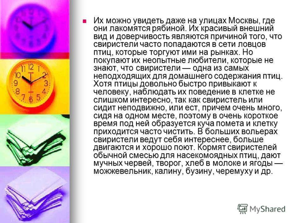 Их можно увидеть даже на улицах Москвы, где они лакомятся рябиной. Их красивый внешний вид и доверчивость являются причиной того, что свиристели часто попадаются в сети ловцов птиц, которые торгуют ими на рынках. Но покупают их неопытные любители, ко