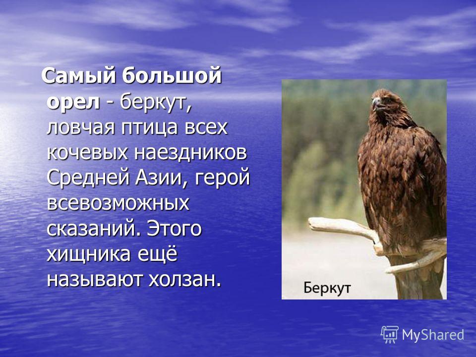 Самый большой орел - беркут, ловчая птица всех кочевых наездников Средней Азии, герой всевозможных сказаний. Этого хищника ещё называют холзан. Самый большой орел - беркут, ловчая птица всех кочевых наездников Средней Азии, герой всевозможных сказани