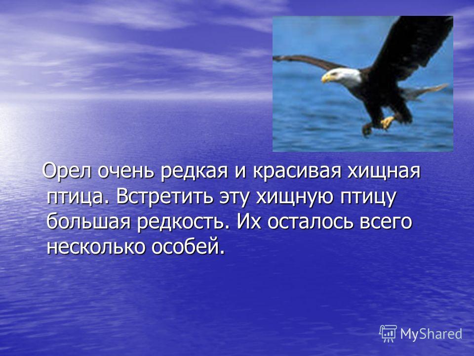 Орел очень редкая и красивая хищная птица. Встретить эту хищную птицу большая редкость. Их осталось всего несколько особей. Орел очень редкая и красивая хищная птица. Встретить эту хищную птицу большая редкость. Их осталось всего несколько особей.