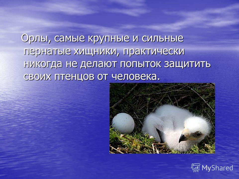 Орлы, самые крупные и сильные пернатые хищники, практически никогда не делают попыток защитить своих птенцов от человека. Орлы, самые крупные и сильные пернатые хищники, практически никогда не делают попыток защитить своих птенцов от человека.