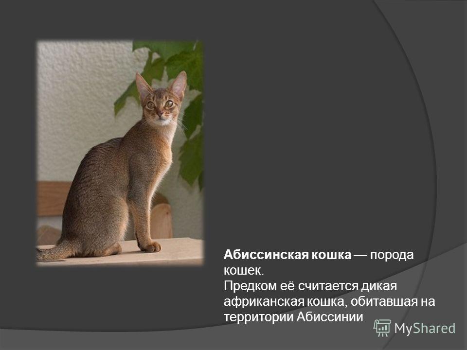Абиссинская кошка порода кошек. Предком её считается дикая африканская кошка, обитавшая на территории Абиссинии