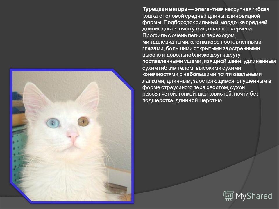 Турецкая ангора элегантная некрупная гибкая кошка с головой средней длины, клиновидной формы. Подбородок сильный, мордочка средней длины, достаточно узкая, плавно очерчена. Профиль с очень легким переходом, миндалевидными, слегка косо поставленными г