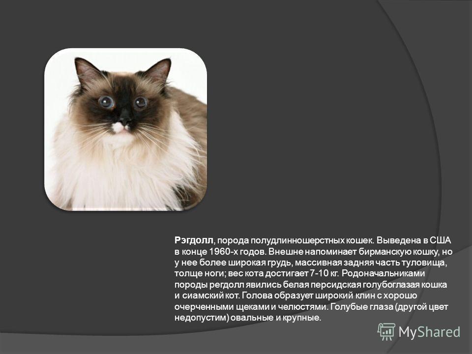Рэгдолл, порода полудлинношерстных кошек. Выведена в США в конце 1960-х годов. Внешне напоминает бирманскую кошку, но у нее более широкая грудь, массивная задняя часть туловища, толще ноги; вес кота достигает 7-10 кг. Родоначальниками породы регдолл