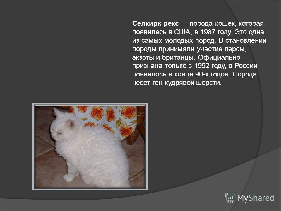 Селкирк рекс порода кошек, которая появилась в США, в 1987 году. Это одна из самых молодых пород. В становлении породы принимали участие персы, экзоты и британцы. Официально признана только в 1992 году, в России появилось в конце 90-х годов. Порода н