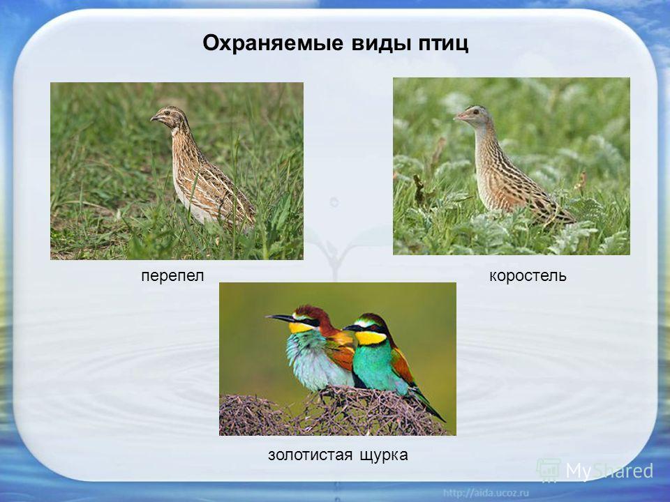 Охраняемые виды птиц перепелкоростель золотистая щурка