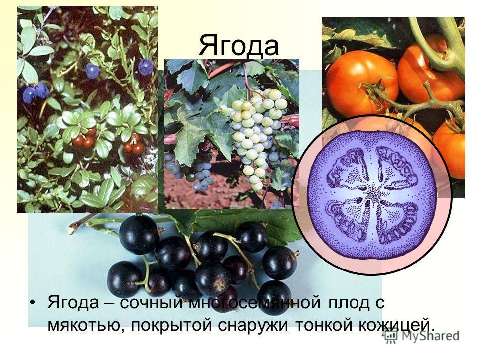 Ягода Ягода – сочный многосемянной плод с мякотью, покрытой снаружи тонкой кожицей.