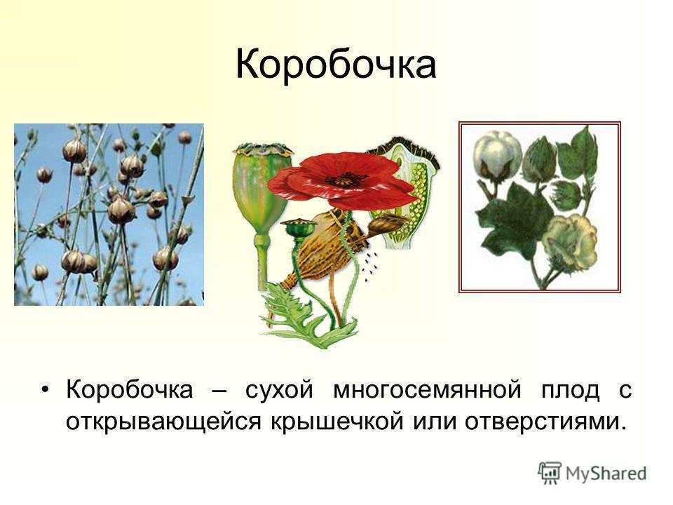 Коробочка Коробочка – сухой многосемянной плод с открывающейся крышечкой или отверстиями.