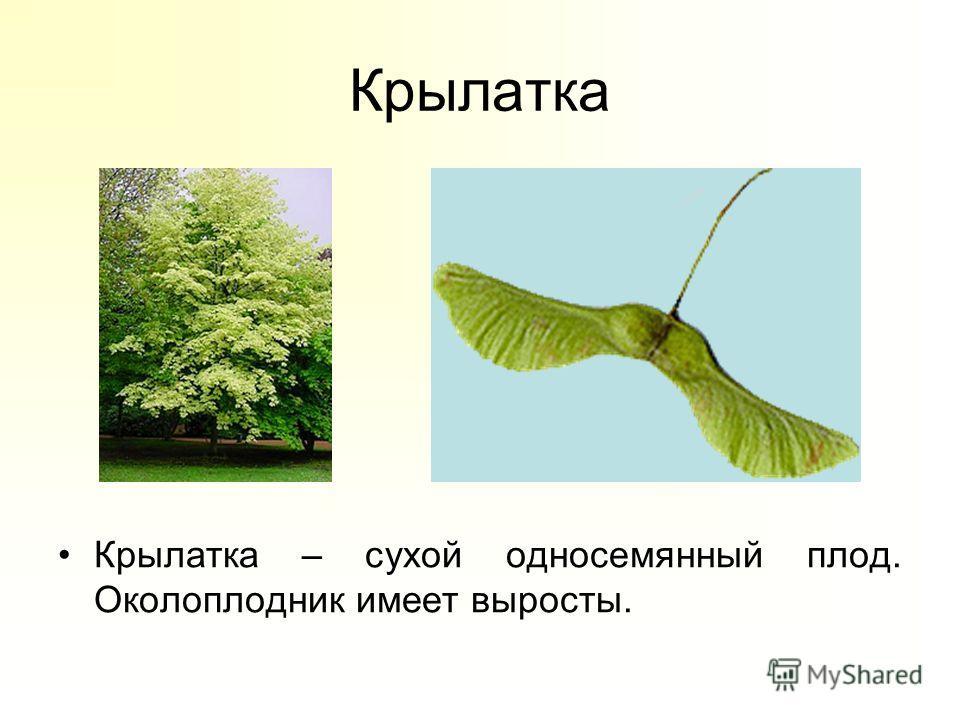 Крылатка Крылатка – сухой односемянный плод. Околоплодник имеет выросты.