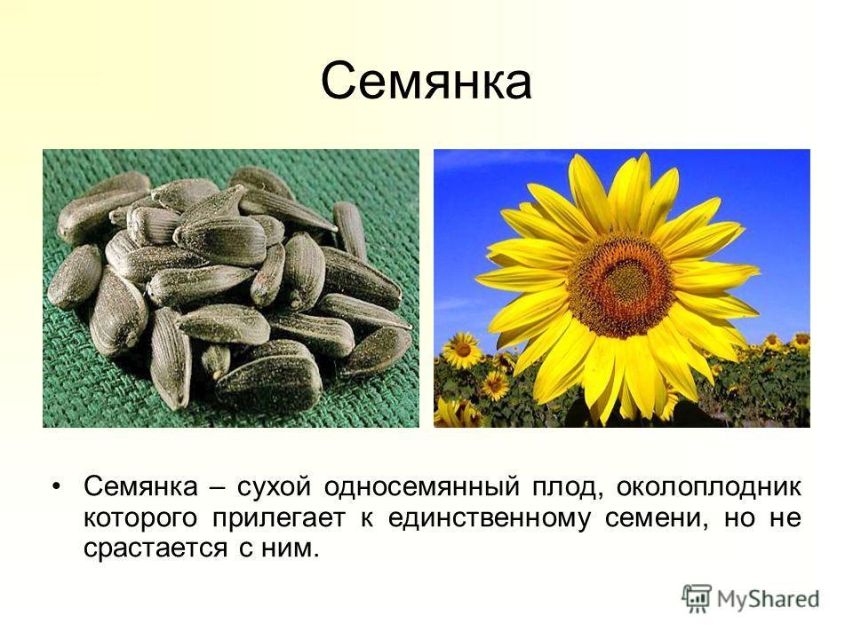 Семянка Семянка – сухой односемянный плод, околоплодник которого прилегает к единственному семени, но не срастается с ним.