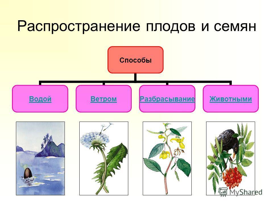 Распространение плодов и семян Способы ВодойВетромРазбрасываниеЖивотными