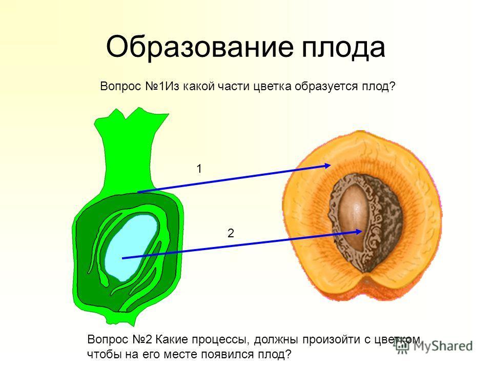 Образование плода Вопрос 1Из какой части цветка образуется плод? Вопрос 2 Какие процессы, должны произойти с цветком, чтобы на его месте появился плод? 1 2