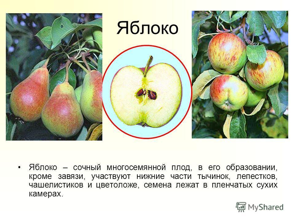 Яблоко Яблоко – сочный многосемянной плод, в его образовании, кроме завязи, участвуют нижние части тычинок, лепестков, чашелистиков и цветоложе, семена лежат в пленчатых сухих камерах.