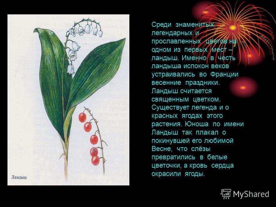 Среди знаменитых, легендарных и прославленных цветов на одном из первых мест – ландыш. Именно в честь ландыша испокон веков устраивались во Франции весенние праздники. Ландыш считается священным цветком. Существует легенда и о красных ягодах этого ра