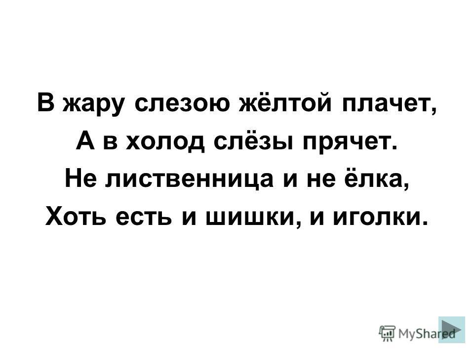 В жару слезою жёлтой плачет, А в холод слёзы прячет. Не лиственница и не ёлка, Хоть есть и шишки, и иголки.