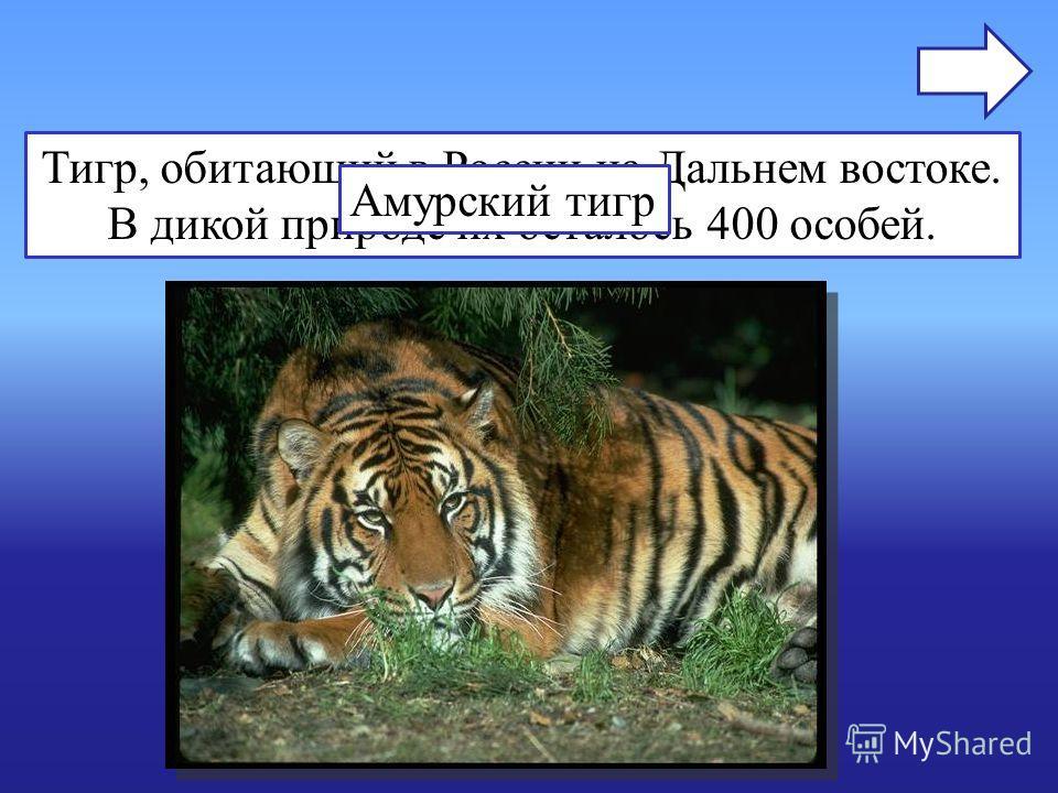 Тигр, обитающий в России на Дальнем востоке. В дикой природе их осталось 400 особей. Амурский тигр