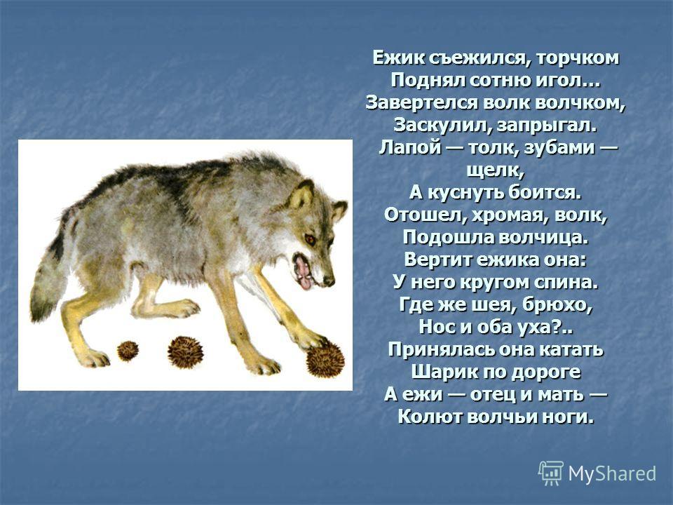Ежик съежился, торчком Поднял сотню игол… Завертелся волк волчком, Заскулил, запрыгал. Лапой толк, зубами щелк, А куснуть боится. Отошел, хромая, волк, Подошла волчица. Вертит ежика она: У него кругом спина. Где же шея, брюхо, Нос и оба уха?.. Принял
