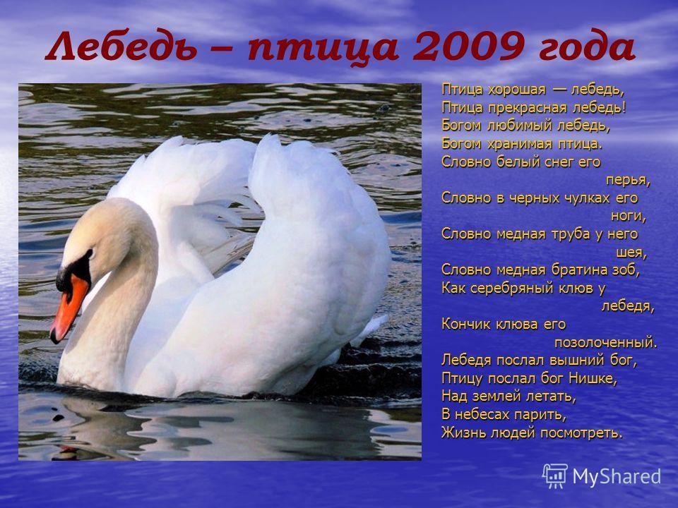 Лебедь – птица 2009 года Птица хорошая лебедь, Птица прекрасная лебедь! Богом любимый лебедь, Богом хранимая птица. Словно белый снег его перья, перья, Словно в черных чулках его ноги, ноги, Словно медная труба у него шея, шея, Словно медная братина