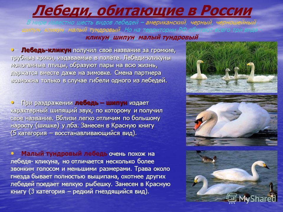 Лебеди, обитающие в России В мире известно шесть видов лебедей – американский, черный, черношейный, шипун, кликун, малый тундровый. Но на территории РФ обитают всего три вида - кликун, шипун, малый тундровый Лебедь-кликун получил своё название за гро