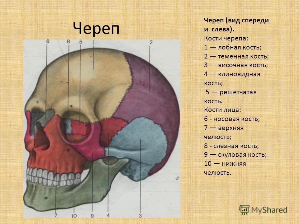 Череп Череп (вид спереди и слева). Кости черепа: 1 лобная кость; 2 теменная кость; 3 височная кость; 4 клиновидная кость; 5 решетчатая кость. Кости лица: 6 - носовая кость; 7 верхняя челюсть; 8 - слезная кость; 9 скуловая кость; 10 нижняя челюсть.