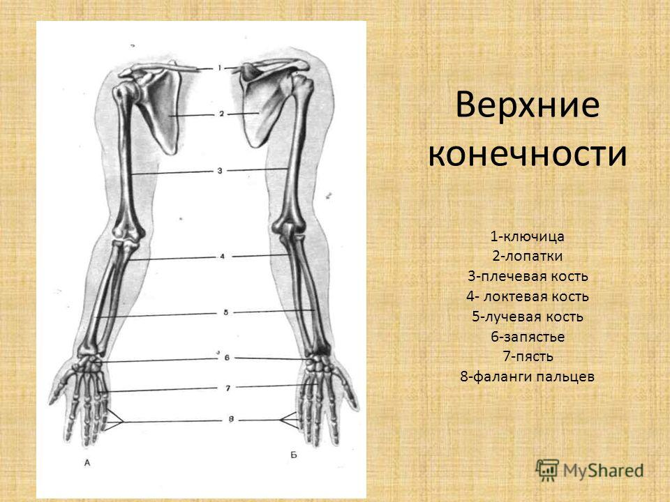 Верхние конечности 1-ключица 2-лопатки 3-плечевая кость 4- локтевая кость 5-лучевая кость 6-запястье 7-пясть 8-фаланги пальцев