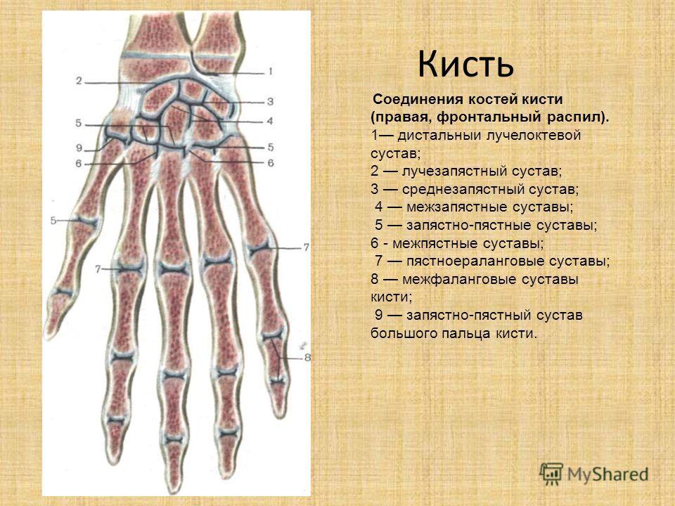 Кисть Соединения костей кисти (правая, фронтальный распил). 1 дистальныи лучелоктевой сустав; 2 лучезапястный сустав; 3 среднезапястный сустав; 4 межзапястные суставы; 5 запястно-пястные суставы; 6 - межпястные суставы; 7 пястноераланговые суставы; 8