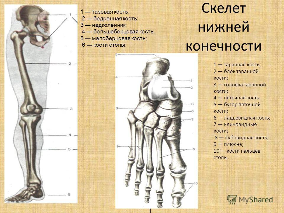 Скелет нижней конечности 1 тазовая кость; 2 бедренная кость; 3 надколенник; 4 большеберцовая кость; 5 малоберцовая кость; 6 кости стопы. 1 таранная кость; 2 блок таранной кости; 3 головка таранной кости; 4 пяточная кость; 5 бугор пяточной кости; 6 ла