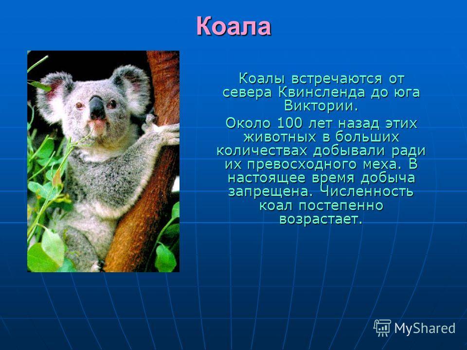 Коала Коалы встречаются от севера Квинсленда до юга Виктории. Около 100 лет назад этих животных в больших количествах добывали ради их превосходного меха. В настоящее время добыча запрещена. Численность коал постепенно возрастает.