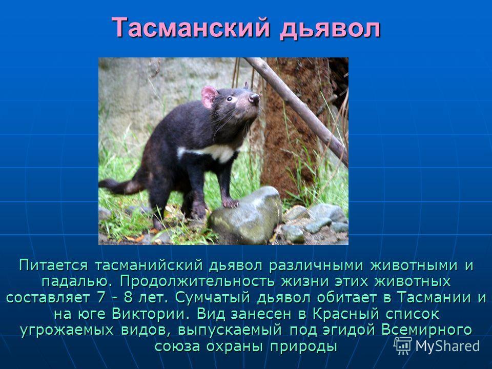 Тасманский дьявол некоторые особенности вида