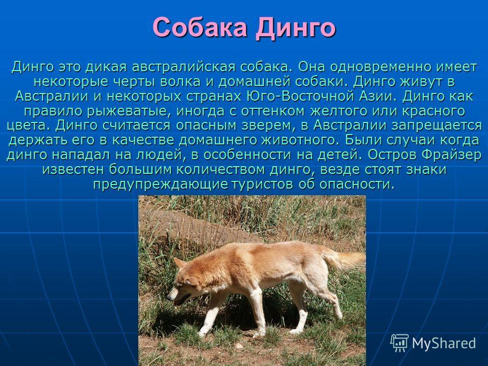 Собака Динго Динго это дикая австралийская собака. Она одновременно имеет некоторые черты волка и домашней собаки. Динго живут в Австралии и некоторых странах Юго-Восточной Азии. Динго как правило рыжеватые, иногда с оттенком желтого или красного цве