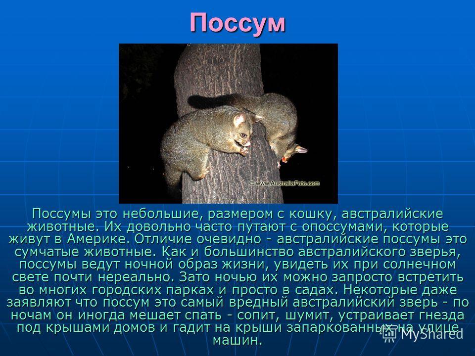 Поссум Поссумы это небольшие, размером с кошку, австралийские животные. Их довольно часто путают с опоссумами, которые живут в Америке. Отличие очевидно - австралийские поссумы это сумчатые животные. Как и большинство австралийского зверья, поссумы в