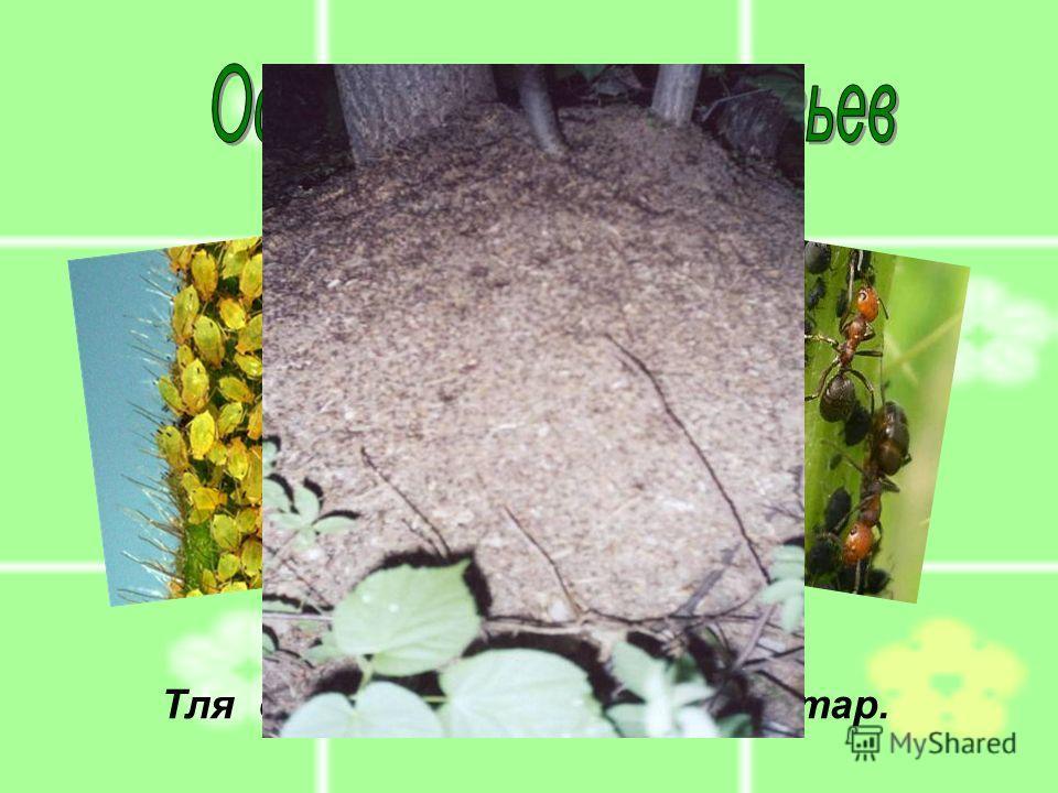 Тля выделяет муравьям нектар.