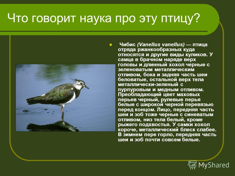 Что говорит наука про эту птицу? Чибис (Vanellus vanellus) птица отряда ржанкообразных куда относятся и другие виды куликов. У самца в брачном наряде верх головы и длинный хохол черные с зеленоватым металлическим отливом, бока и задняя часть шеи бело