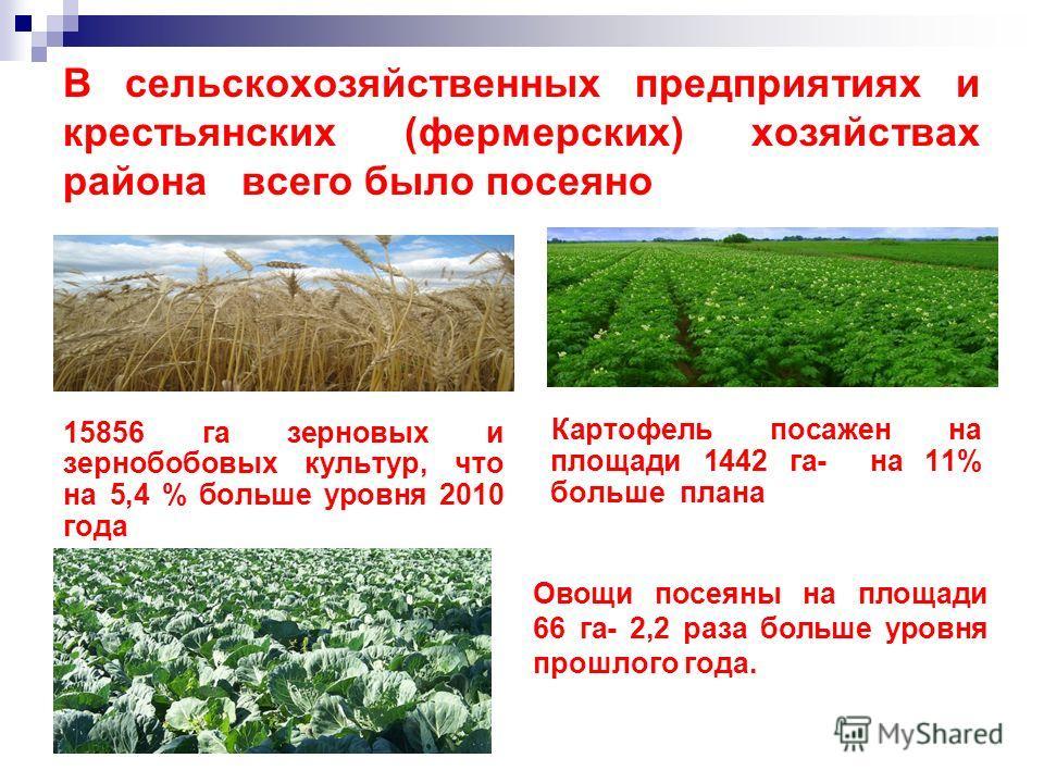 В сельскохозяйственных предприятиях и крестьянских (фермерских) хозяйствах района всего было посеяно 15856 га зерновых и зернобобовых культур, что на 5,4 % больше уровня 2010 года Картофель посажен на площади 1442 га- на 11% больше плана Овощи посеян