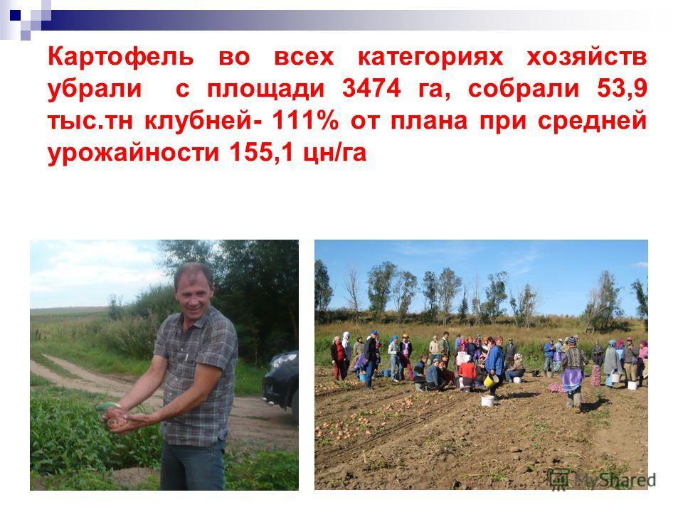 Картофель во всех категориях хозяйств убрали с площади 3474 га, собрали 53,9 тыс.тн клубней- 111% от плана при средней урожайности 155,1 цн/га