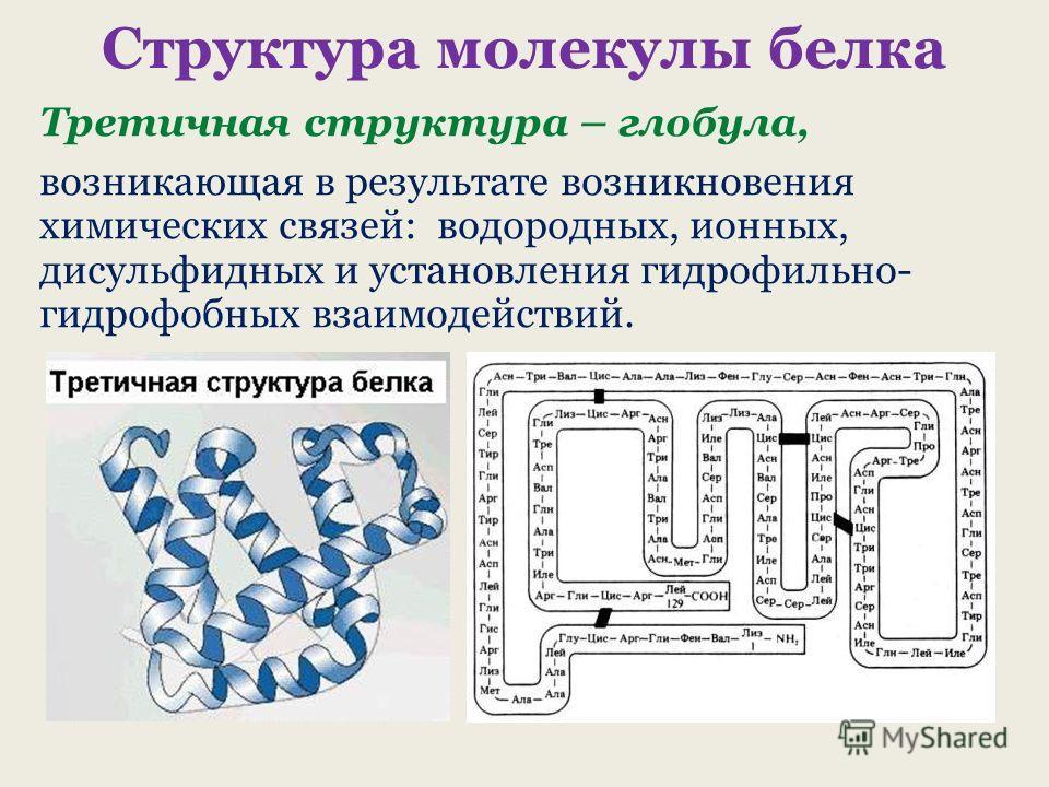 Структура молекулы белка Третичная структура – глобула, возникающая в результате возникновения химических связей: водородных, ионных, дисульфидных и установления гидрофильно- гидрофобных взаимодействий.